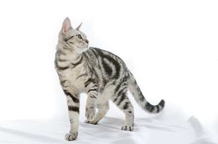 American Shorthair cat on white Banco de Imagens