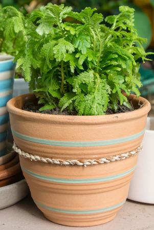 Green fern in earthenware ,flowerpot photo