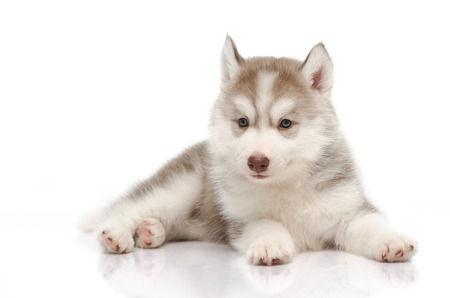 Cute little husky puppy on white background photo