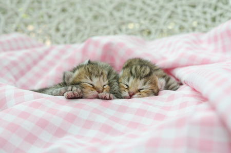 cloath: Newborn american shorthair kitten sleeping on pink table cloath Stock Photo