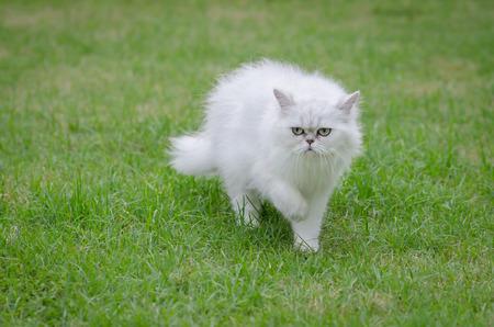 persian green: White persian cat walking on green grass