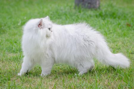 White persian cat walking on green grass photo