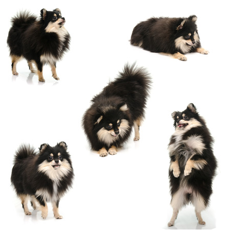 Collection of black tan pomeranian puppy on white background isolated photo