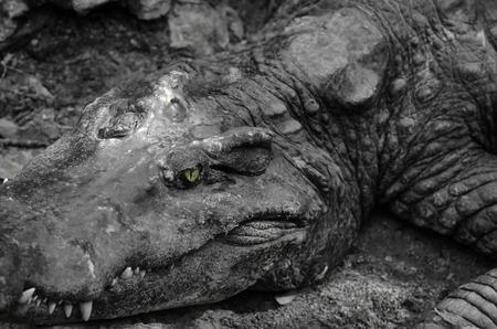 alligator eyes: Closeup portrait of crocodile head