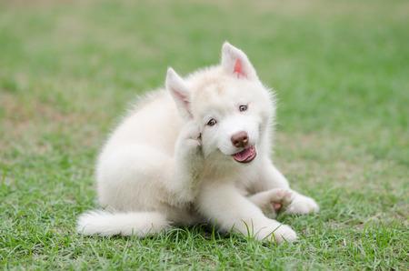 Cute siberian husky puppy scratching on green grass Foto de archivo
