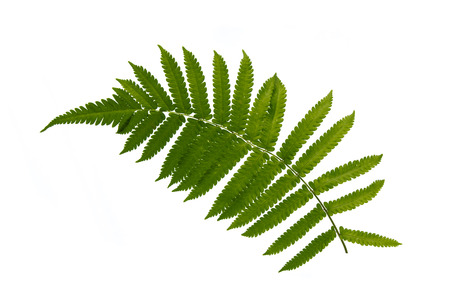Close up of fern on white background isolated