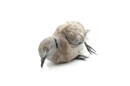 gray catbird: Close up of dead bird on white background isolated Stock Photo