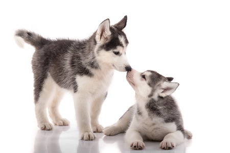 siberian: Two siberian husky puppies kissing on white background isolated