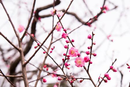 Sakura Flower or Cherry Blossom for Background photo