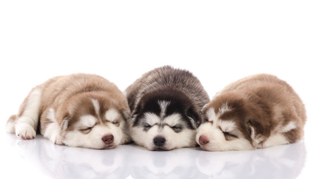 Three siberian husky puppies sleeping on white background isolated photo