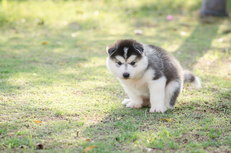 dog poop: Cute siberian husky puppy pooping on green grass under sunset with copy space
