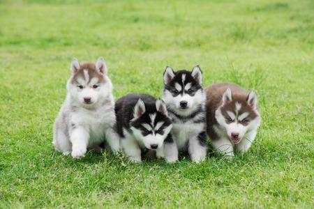 Four Siberian husky puppies sitting on green grass