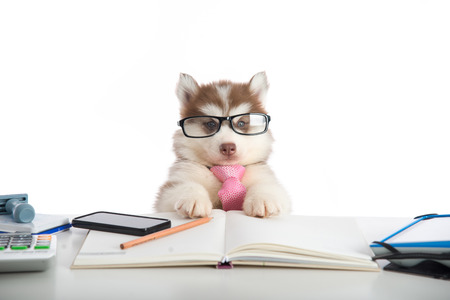 the young animal: Cute siberian husky puppy in glasses working on white table
