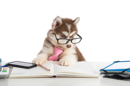 siberian: Cute siberian husky puppy in glasses working on white table