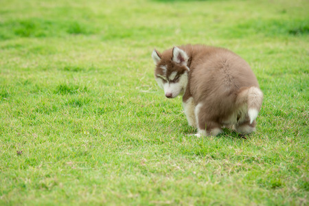 white dog: Cute siberian husky puppy pooping on green grass with copy space