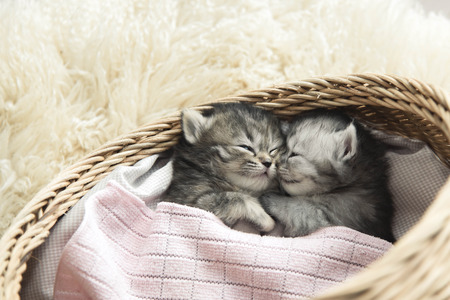 pussy cat: Cute tabby kittens sleeping and hugging in a basket