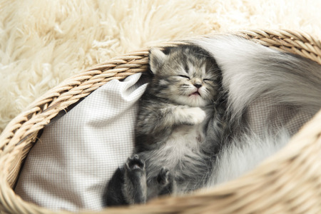 domestic animals: Cute tabby kitten sleeping in a basket Stock Photo
