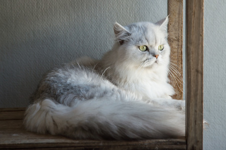 persia: Cute Persia cat lying and looking on old wood shelf