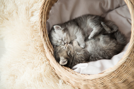 pussy yellow: Cute tabby kittens sleeping and hugging in a basket