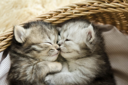 hugs and kisses: Cute tabby kittens sleeping and hugging in a basket