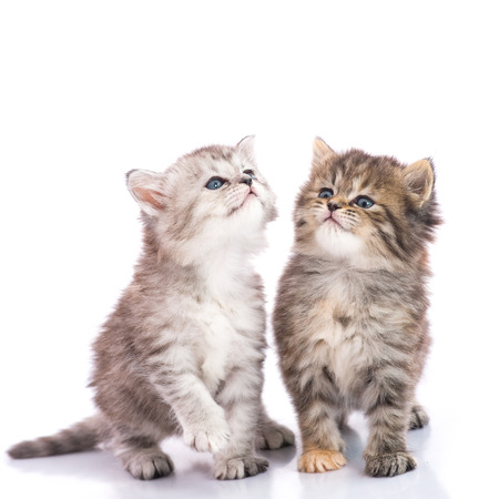 Two Cute tabby kittens looking up on white background isolate Stock Photo