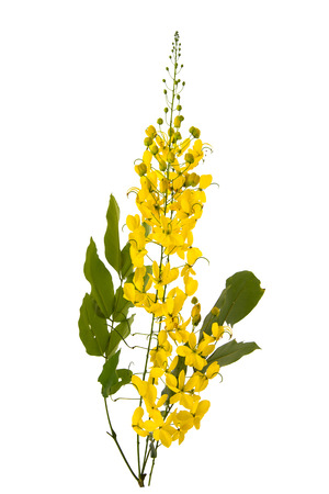 tropica: Cassia fistula flower isolated on white background,isolated