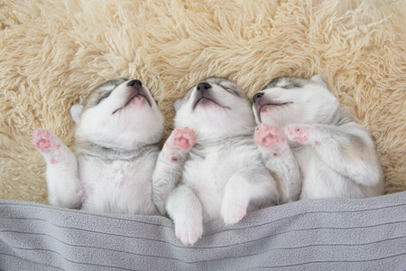 fleece: Three of siberian husky puppies sleeping under a grey blanket