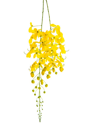 fistula: Cassia fistula flower isolated on white background,isolated
