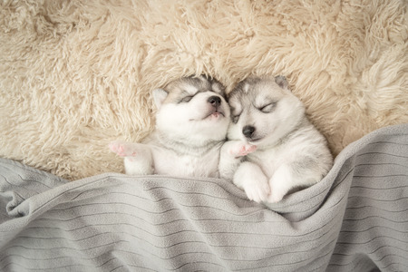 night view: Two of siberian husky puppies sleeping under a grey blanket