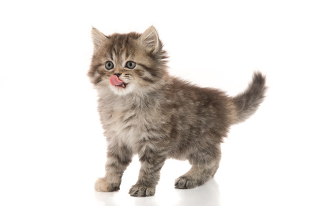 licking in isolated: Cute kitten licking lips up on white background isolated Stock Photo