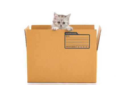 baby open present: Cute tabby kitten looking in a box on white background isolated