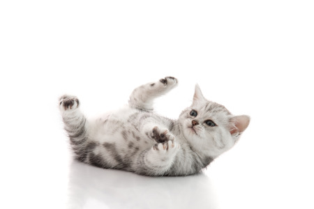 pussy cat: Cute kitten lies on his back and plays on a white background isolated
