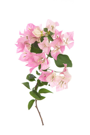 bougainvilleas: Pink blooming bougainvilleas on white background isolated