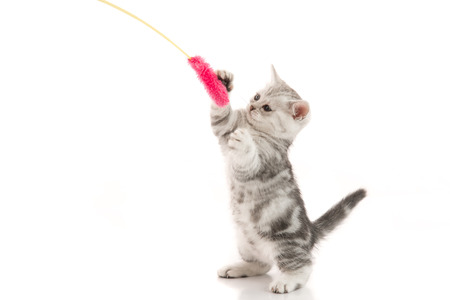 A gray  tabby kitten playing with a toy on a white background,isolated