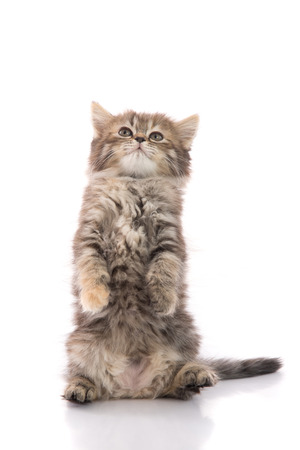 hind: Cute tabby kitten standing with hind legs and licking lips on white background isolated Stock Photo