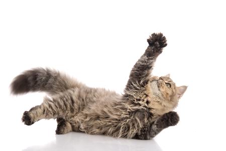 ぶち猫が横になっていると分離、白地にキャッチ 写真素材