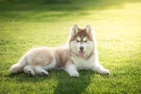husky: Blue eyes siberian husky puppy lying and looking on green grass under sun light Stock Photo
