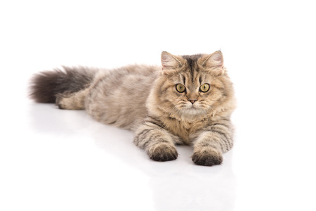 background brown: Tabby cat lying and looking on white background,isolated