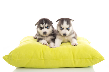 Cute two puppies siberian lying on green pillow,isolated white background