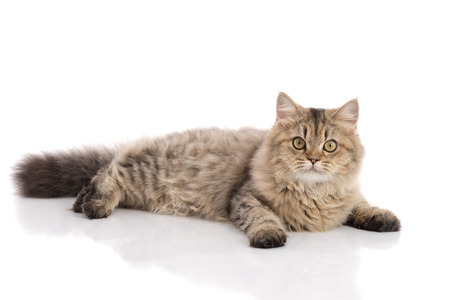 lying in front: Tabby cat lying and looking on white background,isolated