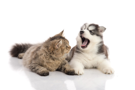 valentine cat: Cat and dog together lying on a white background,isolated