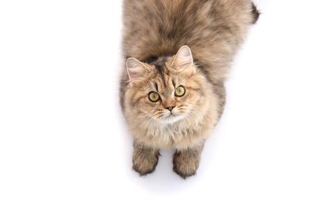koty: Pręgowany kot leżący i patrząc na białym tle, izolowane Zdjęcie Seryjne