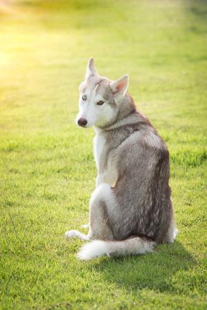 friendless: Beautiful siberian husky sitting back on green grass in the park