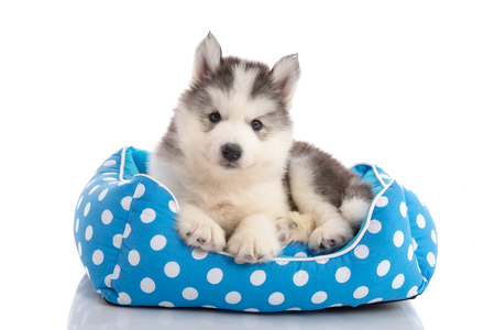 husky: Cute siberian husky lying on pet bed,isolated white background