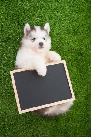greengrass: Cute siberian husky lying and holding blackboard on greengrass