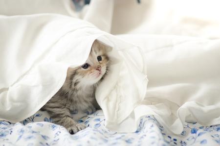 white blanket: Cute tabby kitten playing under white blanket Stock Photo