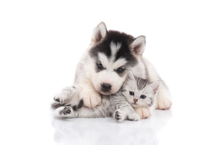 Cute siberian husky puppy  cuddling  cute kitten on white background isolated Stock Photo