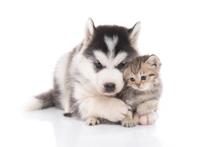 Cute siberian husky puppy  cuddling  cute kitten on white background isolated Stock fotó