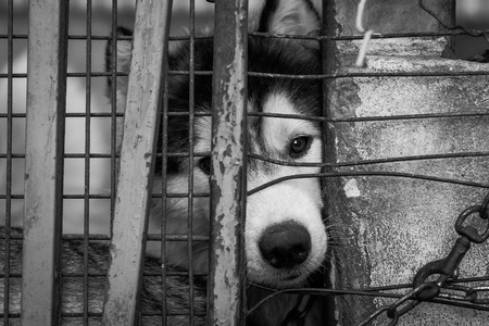 husky: Sad dog locked in the cage