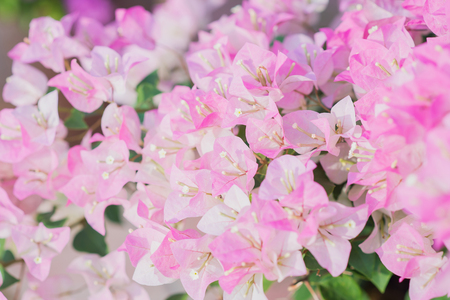 bougainvilleas: Pink blooming bougainvilleas background Stock Photo